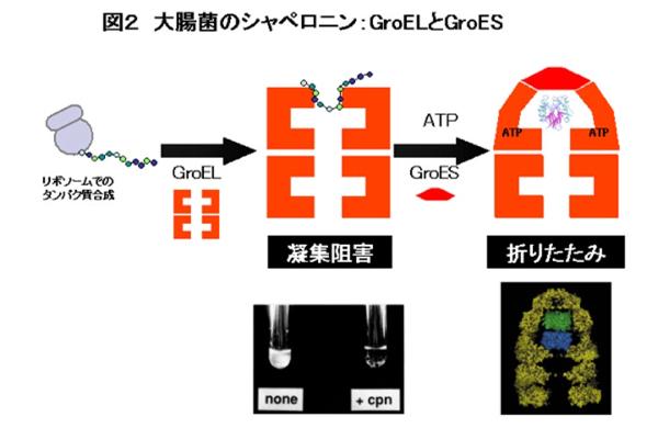 シャペロン 分子 タンパク質の折り畳みを助ける「Hsp90」が免疫機構でも機能を発揮